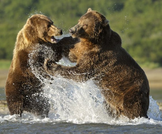 bears-fighting_1931986i